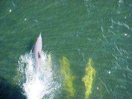 Z cyklu: widoki bajeczne - Zabawa delfinów przed dziobem statku